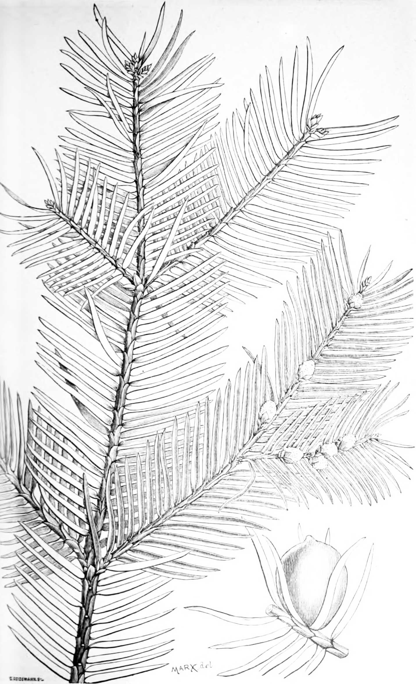 1884 drawing of Florida Torreya