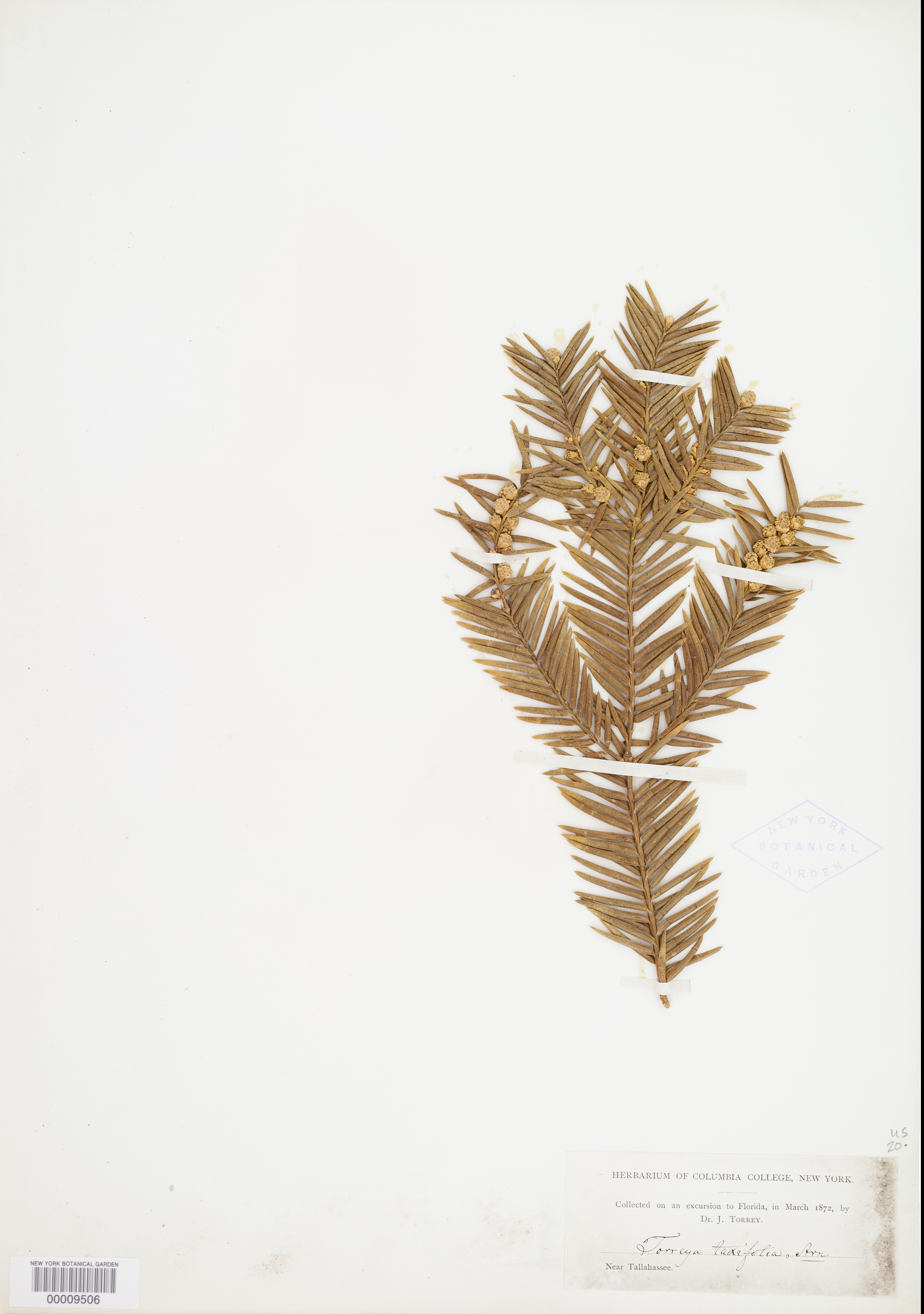 Florida Torreya herbarium specimen