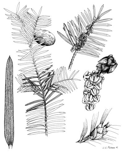 Line drawing of Florida Torreya